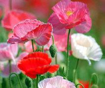 ケシ(芥子)の花.jpg